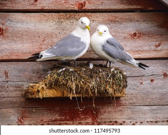 A pair of seagulls is nesting on norwegian house, Norway, Sto