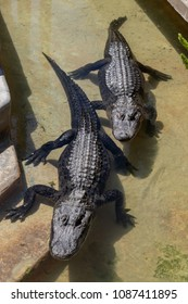 A pair of seemingly synchronized alligators, floating in a man-made pond, in Florida, with the front foot of one on some steps.