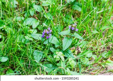 A pair of Selfheal aka Heal -all Prunella vulgaris plants growing in a roadside verge