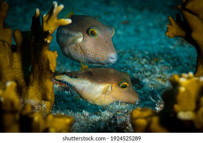 A pair of sharpnose pufferfish (Canthigaster rostrata) on the reef off Sint Maarten, Dutch Caribbean