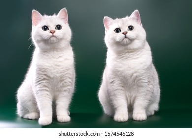 a pair of silver chinchilla cats sitting on a green background and looking forward with a smart look