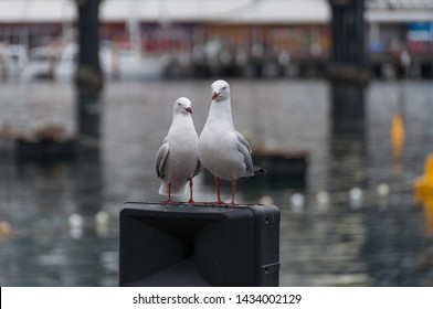 Pair of Silver Gull birds standing on a pole with bay of water on the background. Seagull birds