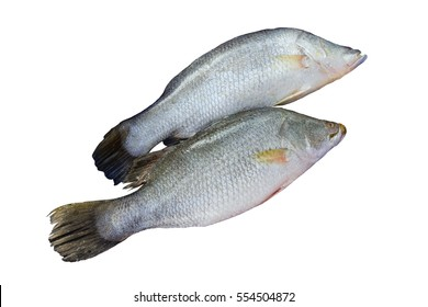 Pair of Silver perch or white perch isolated on white background