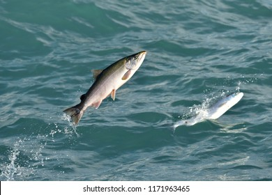 A pair of silver salmon leap from the waters of Resurrection Bay in Seward, Alaska.