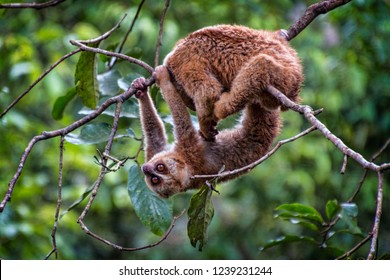 Pair of Slow Loris hanging on Tree Limbs in Chinese Rain Forest. Brown Furred Loris in Natural Jungle Environment (Wild Elephant Valley, Xishuangbanna, Yunnan, China).