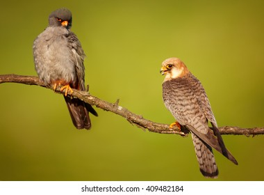 Pair of small and colorful falcons, Red-footed Falcon, Falco vespertinus, perched on branch in the evening light isolated on green background. Europe, Hungary.