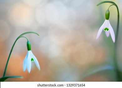 pair of snow drops early spring white wild flower, background. Galanthus nivalis is blooming during winter and one of the first wildflowers of the year.
