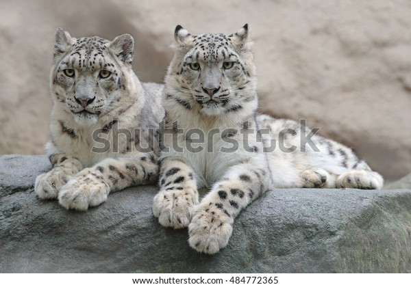 Pair of snow leopards with clear rocky background, Hemis National Park, Kashmir, India. Wildlife scene from Asia. Detail portrait of beautiful big cats Panthera uncia.