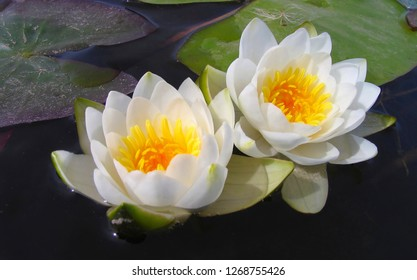 A pair of snow-white water lilies with leaves floating on the dark blue surface of the river in sunny weather, close-up.