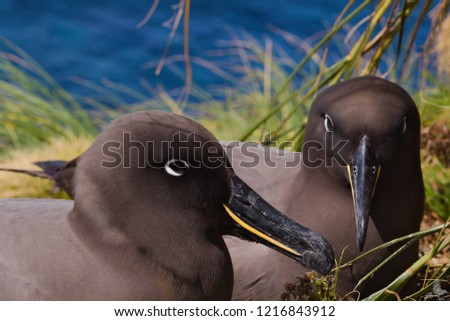 My Favorite Wildlife Photo Of All Time >> Pair Sooty Albatrosses By Far My Stock Photo Edit Now 1216843912