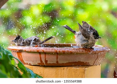 A pair of Sooty-headed Bulbul bathing in a bowl of water with blurry green background of trees