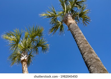 Pair of South Carolina palmetto palm trees seen from below against a blue sky, horizontal aspect