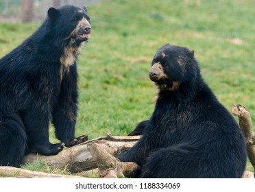 A pair of spectacled bears square up against each other