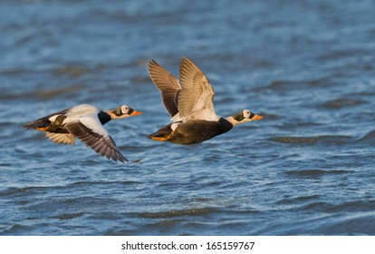 A pair of spectacled eider drakes fly over the coastal water of Barrow, Alaska