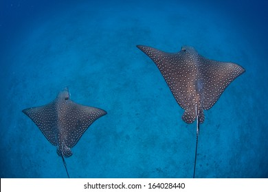 A pair of Spotted eagle rays (Aetobatis narinari) cruise above a deep, sandy seafloor near Cocos Island, Costa Rica. This remote island is known for its seasonal shark and ray aggregations.