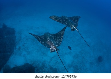 A pair of Spotted eagle rays (Aetobatus narinari) glide over a deep sand bottom near Cocos Island off Costa Rica.  The rays feed on mollusks and crustaceans that live in the sand.