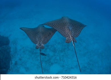 A pair of Spotted eagle rays cruise over the deep seafloor near Cocos Island off the Pacific coast of Costa Rica.