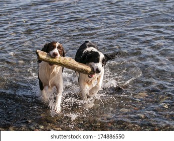 A pair of Springer Spaniels fetching the same stick from the ocean.