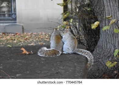 Pair of Squirrels