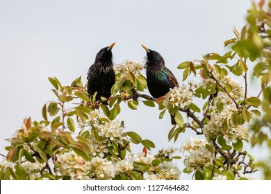 Pair of starlings singing on a branch of a blossoming apple tree. Common starling (Sturnus vulgaris), also known as European starling has a glossy black plumage with a metallic sheen. Spring, Czech.