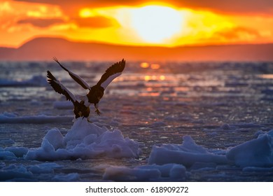 Pair of Steller's sea eagle on frozen ocean, Japan.