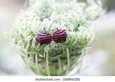 Pair of striped bugs Graphosoma lineatum mates on white flower. Italian striped bug or minstrel bug, soft focus