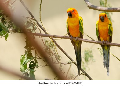 A pair of sun conure birds on a tree branch