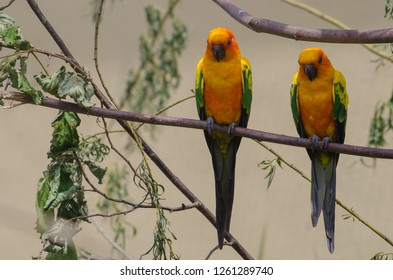 A pair of sun conure birds of paradise