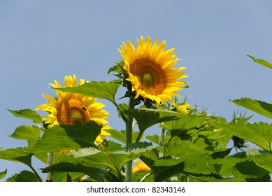 pair of sunflowers with blue sky