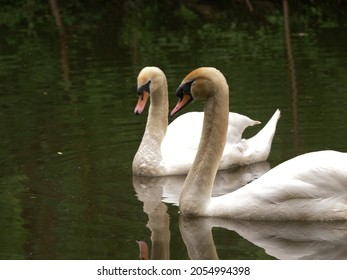 Pair of Swan mating couple float on water wide shot