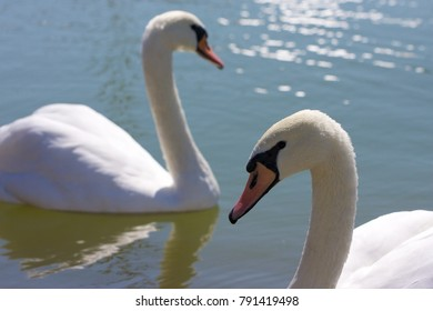 Pair of swans closeup on blue water.