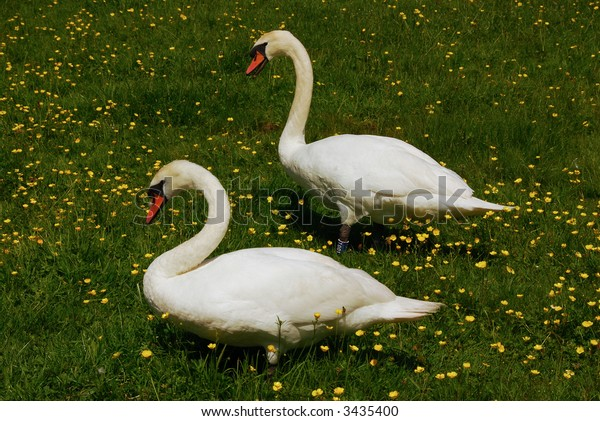 A pair of swans in an English water meadow