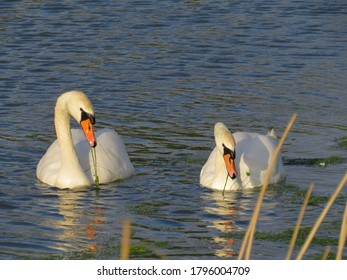 pair of swans feeding on river weed in the water on a sunny spring evening