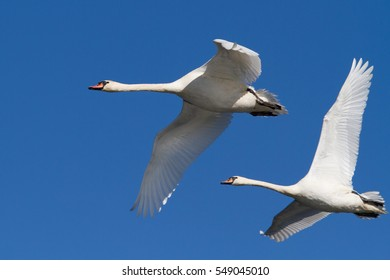 pair of swans in flight against a blue sky