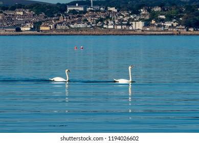 Pair of swans gliding across a calm sea