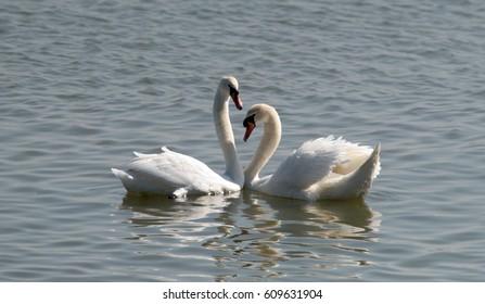 Pair of swans in love floating on the River Danube at Zemun in the Belgrade Serbia.