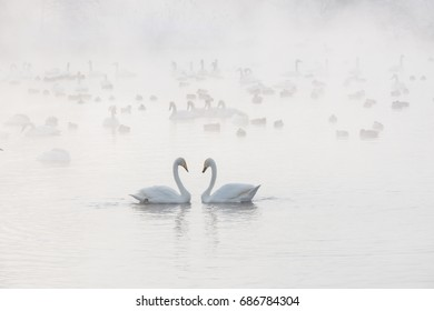 A pair of swans on a misty Lake in winter. Non-freezing lake Svetloe . Russia, Altai.Russia, Altai. - Shutterstock ID 686784304