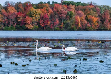 a pair of swans in a pond with fall colors
