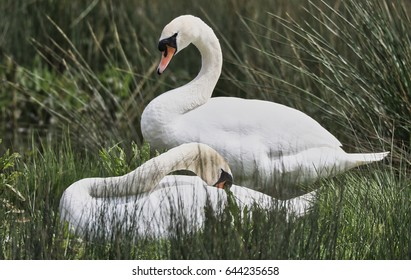A pair of swans from Rutland Water