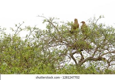 pair of Tawny Eagle (Aquila rapax) in a tree, Tanzania