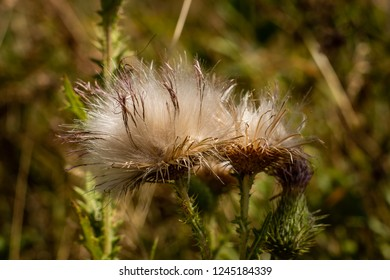 A pair of thistles