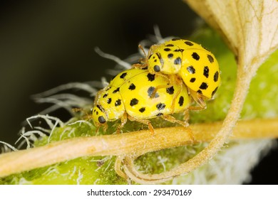 A pair of tiny 22-spot ladybirds mating on sunflowers