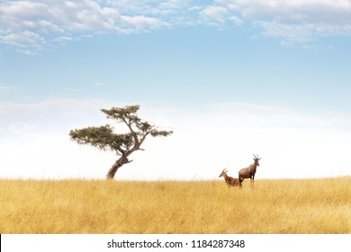 A pair of topi keep watch from an elevated mound in the Masai Mara. A lone acacia tree is on the horizon. The topi, Damaliscus lunatus jimela, is declining in numbers and considered vulnerable