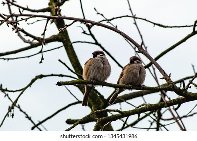 a pair of tree sparrows on a tree
