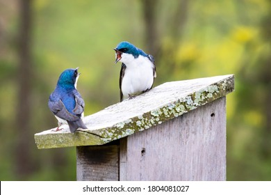 A Pair of Tree Swallows (Tachycineta bicolor) Has a Heated Argument Sitting on a Nest Box in Stroud Preserve, Chester County, Pennsylvania, USA