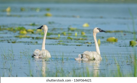 A pair of trumpeter swan parents on a beautiful sunny spring  day - with their cute baby cygnets - taken in the Crex Meadows Wildlife Area in Northern Wisconsin