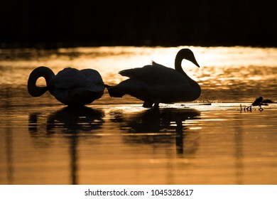 A pair of Trumpeter Swans in the late afternoon on a wetland