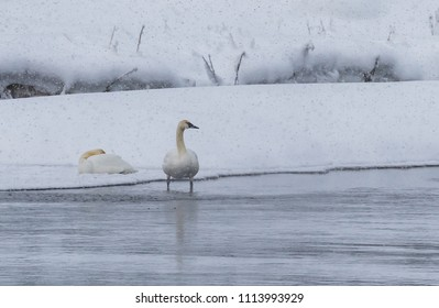 Pair of trumpeter swans on a snowy day in winter.