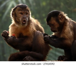 A pair of Tufted Capuchins, also known as Brown or Black-capped Capuchins: one eating while another grooms him