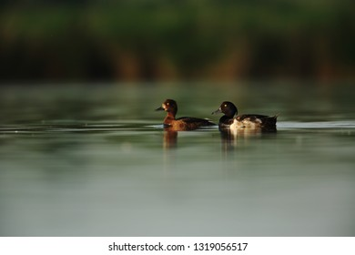 Pair of Tufted duck on lake